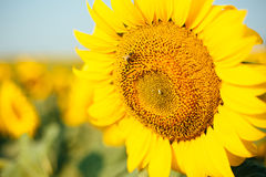 Sunflower field. Sunrise Royalty Free Stock Photos