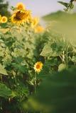 Sunflower field on Sunrise Royalty Free Stock Image