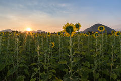 Sunflower field at sunrise Stock Photography