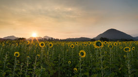 Sunflower field at sunrise Royalty Free Stock Photos