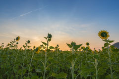 Sunflower field at sunrise Stock Images