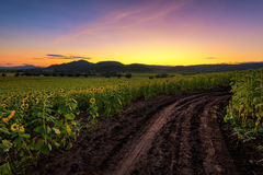 Sunflower field at sunrise. Stock Image
