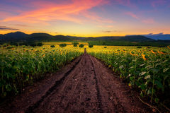 Sunflower field at sunrise. Royalty Free Stock Images