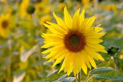 Sunflower on a field at sunset Royalty Free Stock Photography