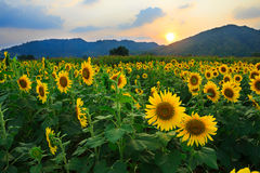 Sunflower field with sunset Stock Photography