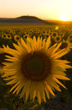 Sunflower field at sunset Stock Images