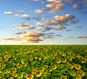 Sunflower field. On the sunset Royalty Free Stock Photo