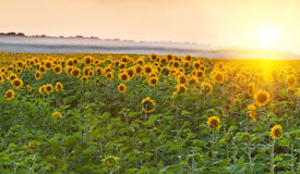 Sunflower field on sunset Stock Images