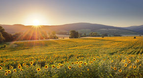 Sunflower field at sunset Royalty Free Stock Photos