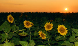 Sunflower field in sunset Stock Photography