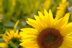 Sunflower on a field at sunset Stock Image