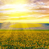 Sunflower field at sunset Royalty Free Stock Image