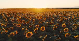 Sunflower field at sunset, blooming sunflowers. Panoramic aerial drone view