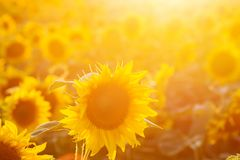 Sunflower field at sunset. Filtered Instagram effect Royalty Free Stock Photos