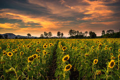 Sunflower field with sunset Royalty Free Stock Images