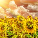 Sunflower field on sunset Stock Photo