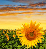 Sunflower field in the sunset Royalty Free Stock Photos