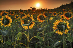 Sunflower field at sunset Royalty Free Stock Photo