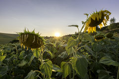 Sunflower field in the sunset. Sunflowers in the field during the sunset Royalty Free Stock Photos
