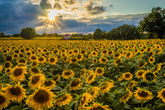 Sunflower field at sunset. A field of sunflowers backlit while the sun is setting down Royalty Free Stock Photos