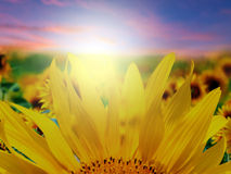 Sunflower field. In sunset time stock photo
