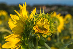 Sunflower field. Sunset time Royalty Free Stock Photo
