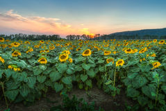 Sunflower field at sunset Stock Photo