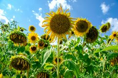 Sunflower field in sunshine. With blue sky and clouds royalty free stock image