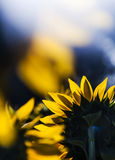 Sunflower field Stock Images