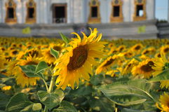 Sunflower field surrounding beautiful architecture of Buddhist temple Stock Photos