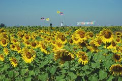 Sunflower field with Thai and Royal flags Stock Image
