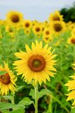 Sunflower. Field in Thailand Stock Image