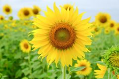 Sunflower. Field in Thailand Royalty Free Stock Images