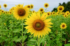 Sunflower field. In Thailand Royalty Free Stock Photography