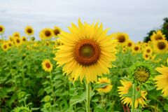 Sunflower. Field in Thailand Royalty Free Stock Photos