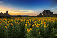 Sunflower field in Thailand. Stock Images