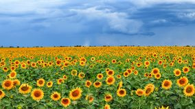Sunflower field before thunderstorm. Summer. July Royalty Free Stock Photography