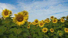 sunflower field time lapse stock video footage