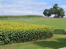 Sunflower field with tree Royalty Free Stock Photos