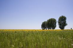 Sunflower field and trees Royalty Free Stock Photography