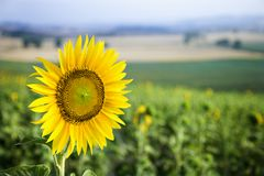 Sunflower in field in Tuscany, Italy. Royalty Free Stock Photos