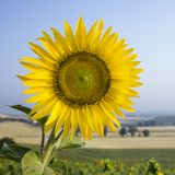 Sunflower in field in Tuscany, Italy. Royalty Free Stock Images