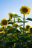 Sunflower. Field in Tuscany, Italy Royalty Free Stock Image