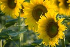 Sunflower. Field in Tuscany, Italy Stock Photos