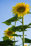 Sunflower. Field in Tuscany, Italy Royalty Free Stock Photography