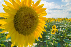 Sunflower. Field in Tuscany, Italy Stock Images