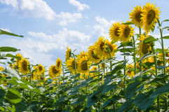Sunflower. Field in Tuscany, Italy Royalty Free Stock Images
