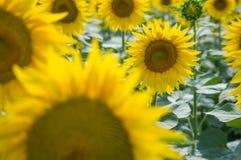 Sunflower. Field in Tuscany, Italy Royalty Free Stock Photo