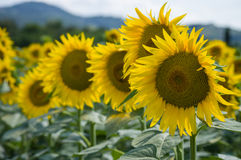 Sunflower. Field in Tuscany, Italy Stock Photography