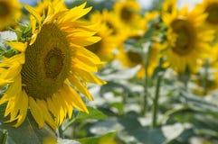 Sunflower. Field in Tuscany, Italy Stock Photo